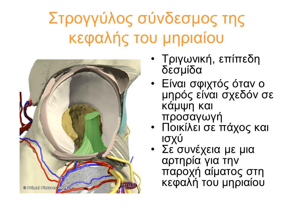•Τριγωνική, επίπεδη δεσμίδα •Είναι σφιχτός όταν ο μηρός είναι σχεδόν σε κάμψη και προσαγωγή •Ποικίλει σε πάχος και ισχύ •Σε συνέχεια με μια αρτηρία γι