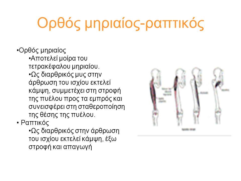 Ορθός μηριαίος-ραπτικός •Ορθός μηριαίος •Αποτελεί μοίρα του τετρακέφαλου μηριαίου. •Ως διαρθρικός μυς στην άρθρωση του ισχίου εκτελεί κάμψη, συμμετέχε