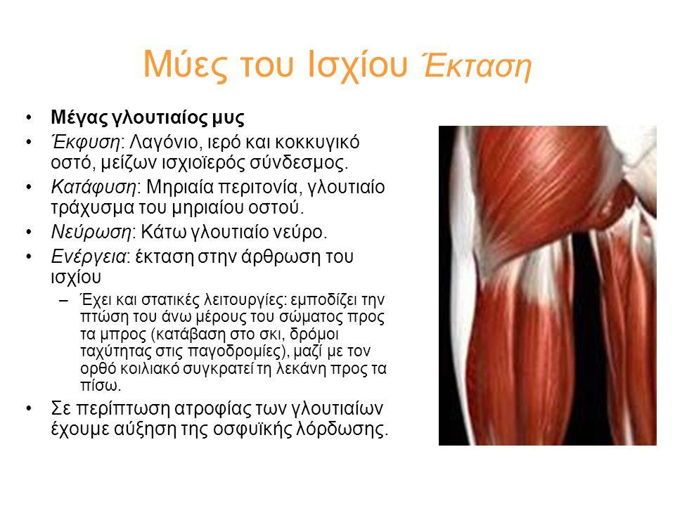 Μύες του Ισχίου Έκταση •Μέγας γλουτιαίος μυς •Έκφυση: Λαγόνιο, ιερό και κοκκυγικό οστό, μείζων ισχιοϊερός σύνδεσμος. •Κατάφυση: Μηριαία περιτονία, γλο