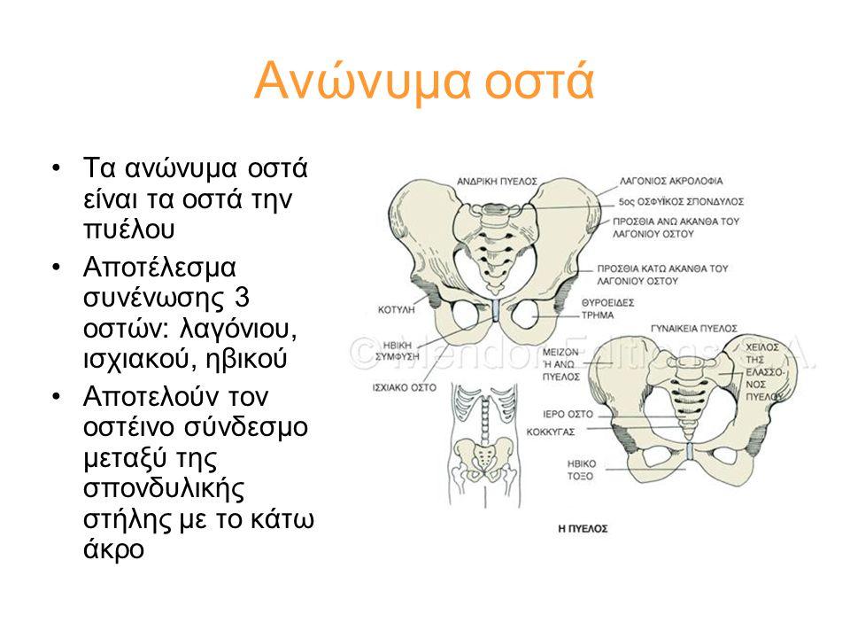 Ανώνυμα οστά •Τα ανώνυμα οστά είναι τα οστά την πυέλου •Αποτέλεσμα συνένωσης 3 οστών: λαγόνιου, ισχιακού, ηβικού •Αποτελούν τον οστέινο σύνδεσμο μεταξ