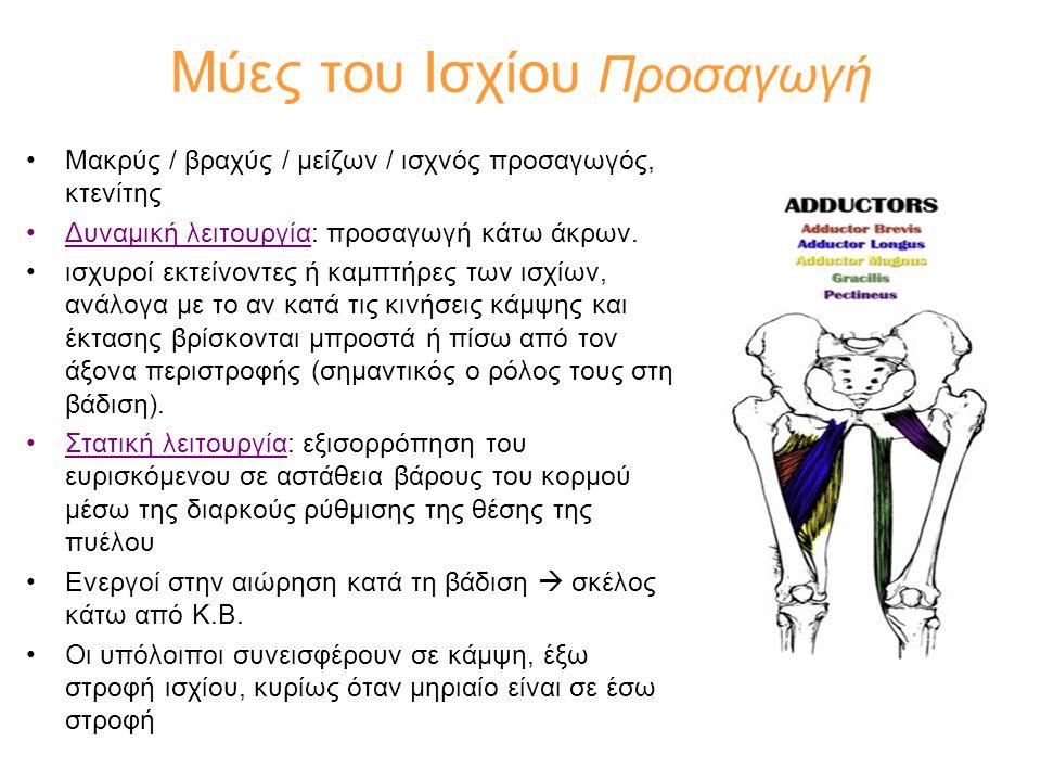 Μύες του Ισχίου Προσαγωγή •Μακρύς / βραχύς / μείζων / ισχνός προσαγωγός, κτενίτης •Δυναμική λειτουργία: προσαγωγή κάτω άκρων. •ισχυροί εκτείνοντες ή κ
