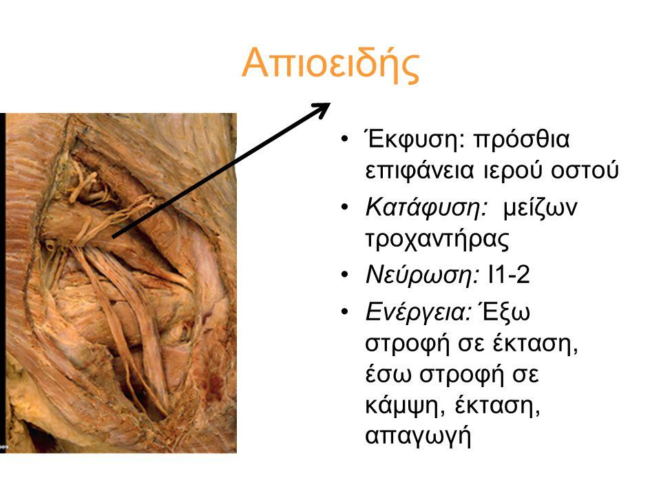 •Έκφυση: πρόσθια επιφάνεια ιερού οστού •Κατάφυση: μείζων τροχαντήρας •Νεύρωση: Ι1-2 •Ενέργεια: Έξω στροφή σε έκταση, έσω στροφή σε κάμψη, έκταση, απαγ