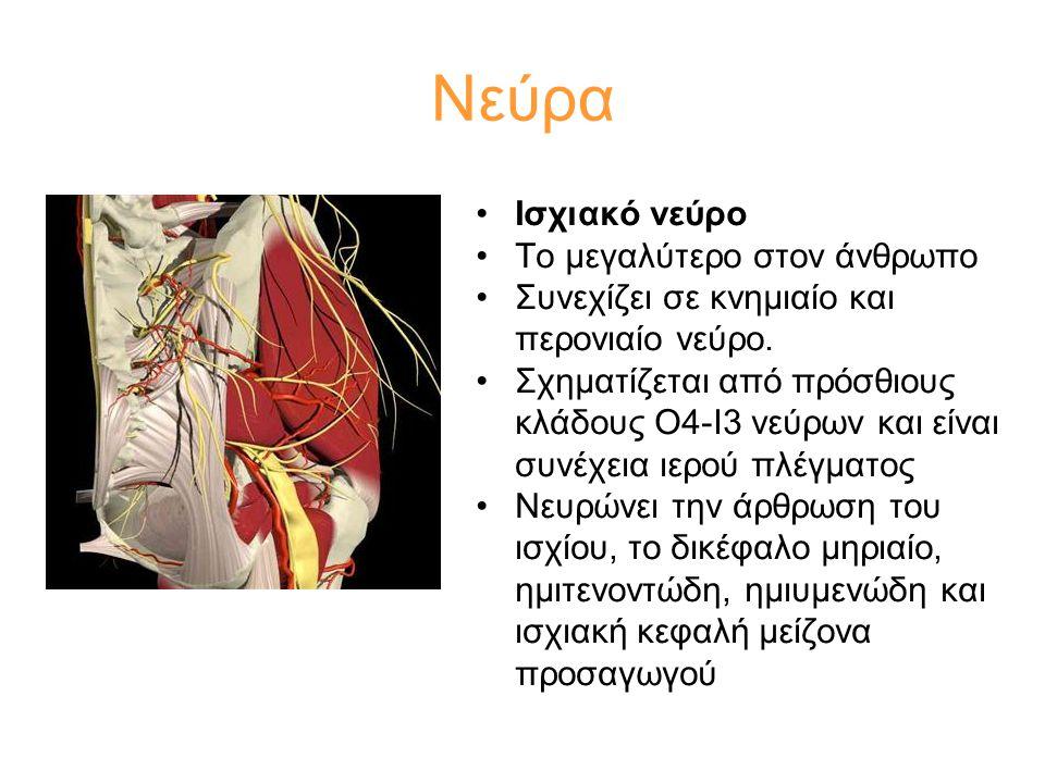 •Ισχιακό νεύρο •Το μεγαλύτερο στον άνθρωπο •Συνεχίζει σε κνημιαίο και περονιαίο νεύρο. •Σχηματίζεται από πρόσθιους κλάδους Ο4-Ι3 νεύρων και είναι συνέ