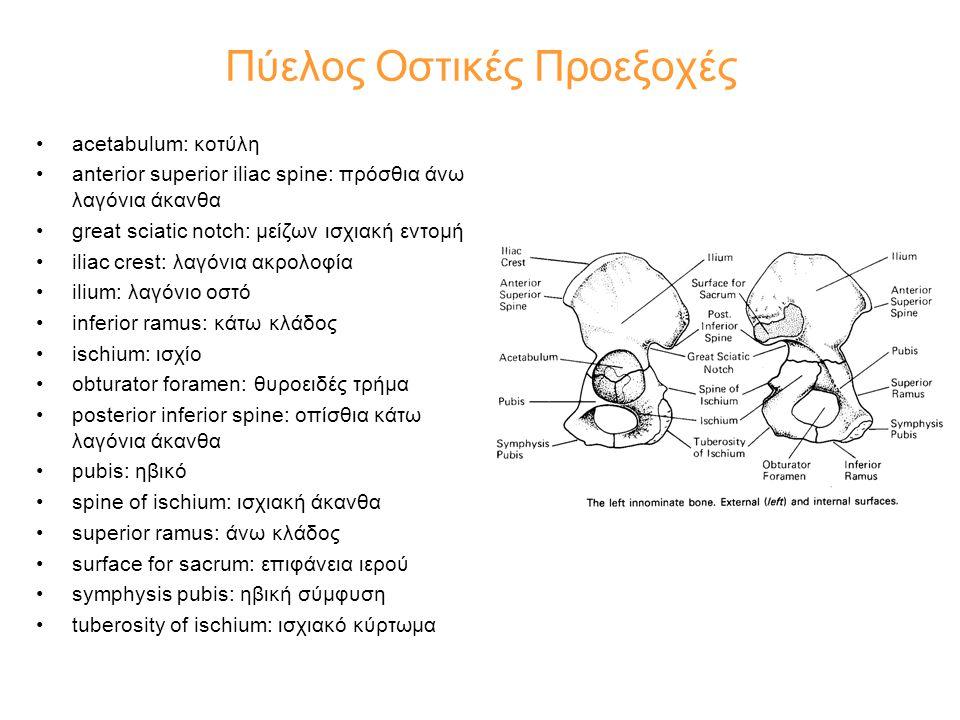 •acetabulum: κοτύλη •anterior superior iliac spine: πρόσθια άνω λαγόνια άκανθα •great sciatic notch: μείζων ισχιακή εντομή •iliac crest: λαγόνια ακρολ