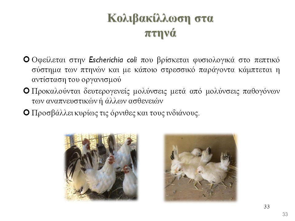 33 Κολιβακίλλωση στα πτηνά Οφείλεται στην Escherichia coli που βρίσκεται φυσιολογικά στο πεπτικό σύστημα των πτηνών και με κάποιο στρεσσικό παράγοντα