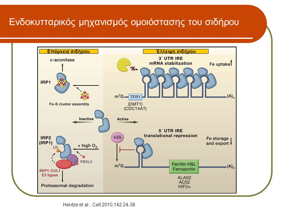 Ενδοκυτταρικός μηχανισμός ομοιόστασης του σιδήρου Έλλειψη σιδήρουΕπάρκεια σιδήρου Hentze et al., Cell 2010;142:24-38