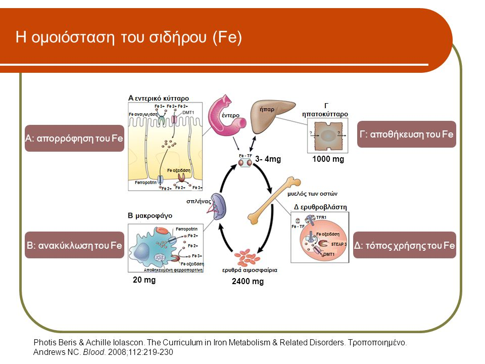 Η ομοιόσταση του σιδήρου (Fe) Α: απορρόφηση του Fe Β: ανακύκλωση του Fe Γ: αποθήκευση του Fe Δ: τόπος χρήσης του Fe 2400 mg 1000 mg3- 4mg 20 mg Photis