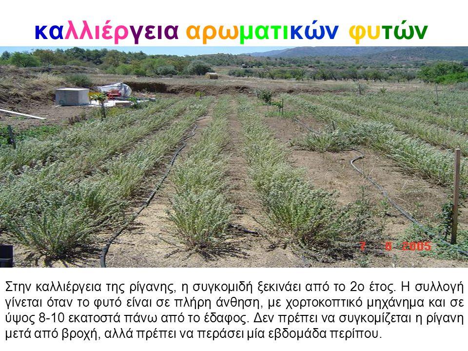 καλλιέργεια αρωματικών φυτών Στην καλλιέργεια της ρίγανης, η συγκομιδή ξεκινάει από το 2ο έτος. Η συλλογή γίνεται όταν το φυτό είναι σε πλήρη άνθηση,