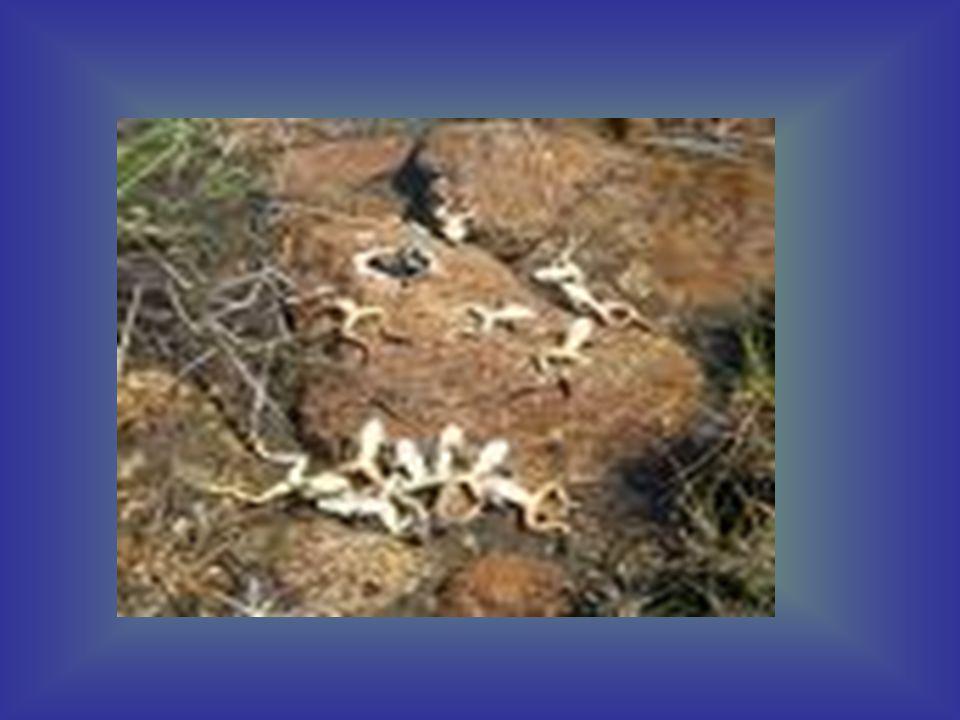 Απειλές για τους βάτραχους •Σπουδαιότεροι εχθροί του βατράχου είναι τα φίδια, οι πελαργοί, οι γερανοί και άλλα πουλιά.