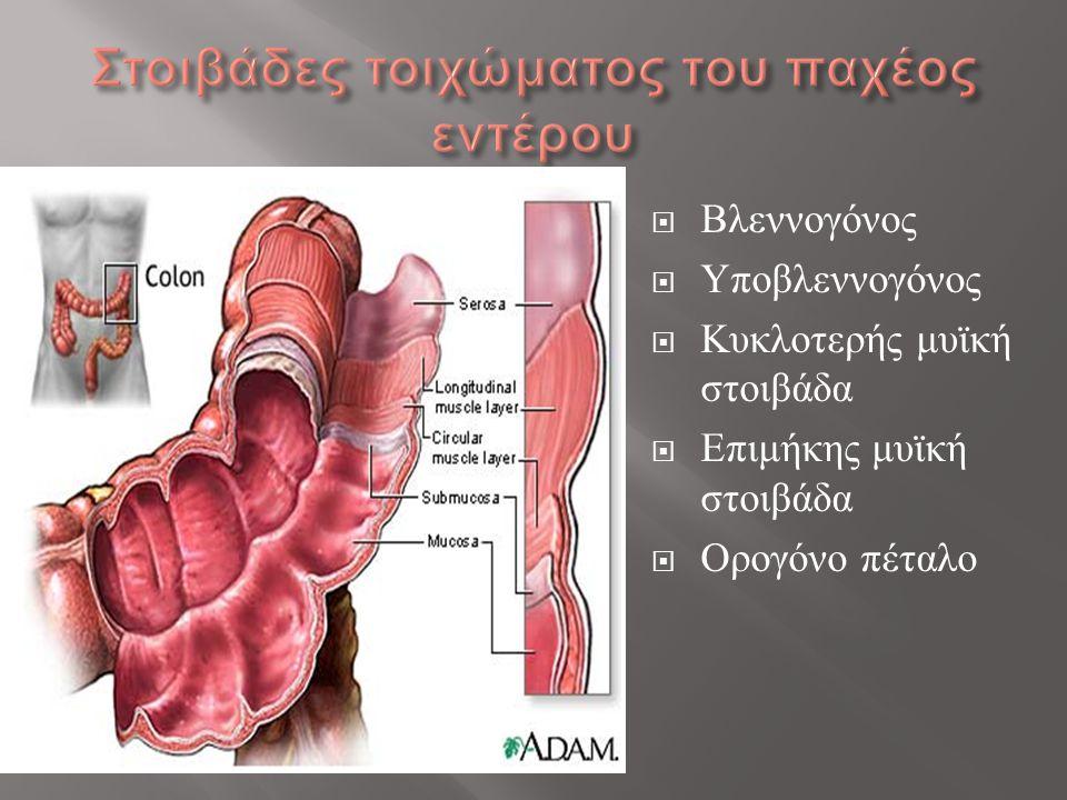  Βλεννογόνος  Υποβλεννογόνος  Κυκλοτερής μυϊκή στοιβάδα  Επιμήκης μυϊκή στοιβάδα  Ορογόνο πέταλο