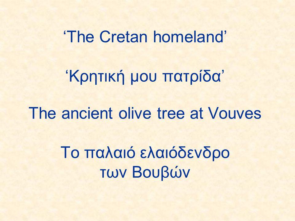 'The Cretan homeland' 'Κρητική μου πατρίδα' The ancient olive tree at Vouves Το παλαιό ελαιόδενδρο των Bουβών