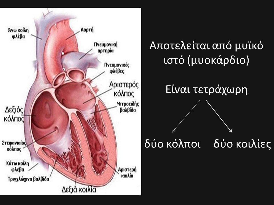 Αποτελείται από μυϊκό ιστό (μυοκάρδιο) Είναι τετράχωρη δύο κόλποι δύο κοιλίες