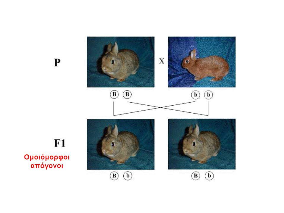 1 ος νόμος: διαχωρισμός των αλληλομόρφων γονιδίων.