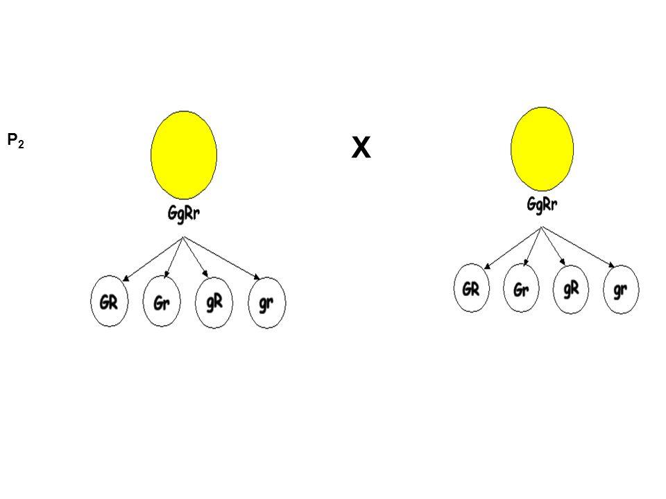 2 ος Νόμος: ανεξάρτητη μεταβίβαση των γονιδίων.
