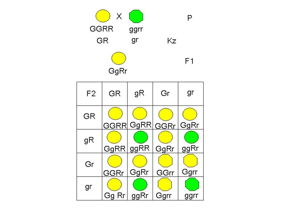 ΝΟΜΟΙ ΤΟΥ Mendel 1 ος νόμος του Mendel ή νόμος του διαχωρισμού των αλληλόμορφων γονιδίων: Τα ετερόζυγα άτομα της F 1 γενιάς ως προς μία ιδιότητα διαχωρίζουν με την διαδικασία της μείωσης τα αλληλόμορφα γονίδιά τους, έτσι σε κάθε γαμέτη να υπάρχει μόνο το ένα αλληλόμορφο.