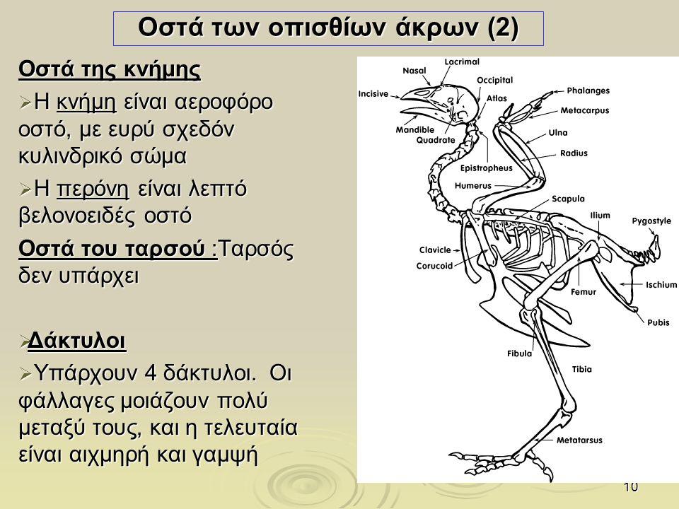 10 Οστά των οπισθίων άκρων (2) Οστά της κνήμης  Η κνήμη είναι αεροφόρο οστό, με ευρύ σχεδόν κυλινδρικό σώμα  Η περόνη είναι λεπτό βελονοειδές οστό Ο
