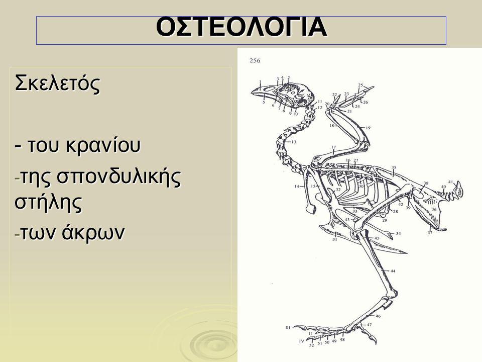4  Απουσία μυελού των οστών από τα περισσότερα οστά, και  η επικοινωνία τους με τους αεροθαλάμους που περιέχουν αέρα (πτήση κολύμβηση) Σημαντική διαφορά από τα θηλαστικά: