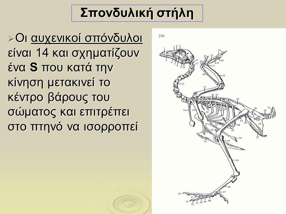 26 ΟΥΡΟΠΟΙΗΤΙΚΟ ΣΥΣΤΗΜΑ  Οι νεφροί είναι δύο, προσκολλημένοι στην οροφή της σπλαχνικής κοιλότητας, εκατέρωθεν της σπονδυλικής στήλης, και εκτείνονται από τους πνεύμονες ως το οπίσθιο άκρο του ιερού οστού  Οι ουρητήρες είναι δύο, εκβάλλουν στον ουρόκολπο της αμάρας  Δεν υπάρχει ουροδόχος κύστη