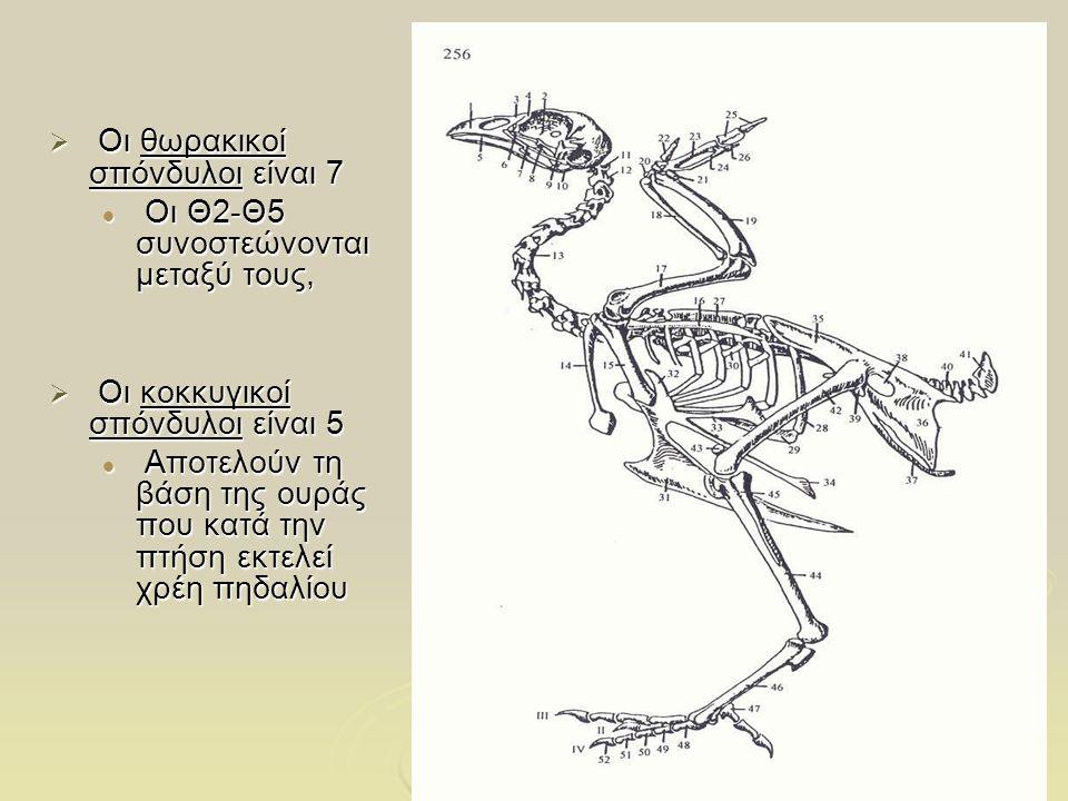 7 Θώρακας  Το στέρνο έχει μεγάλη ανάπτυξη, αφού σε αυτό στερεώνονται οι μύες των πτερύγων, και παρουσιάζει μεγάλη τριγωνική ακρολοφία στη μέση γραμμή, την τρόπιδα  Οι δύο κλείδες είναι επιμήκη κυρτά οστά, που ενώνονται με τα κάτω άκρα τους σε ένα κοινό, πλατύ από τα πλάγια, σώμα με σχήμα V.