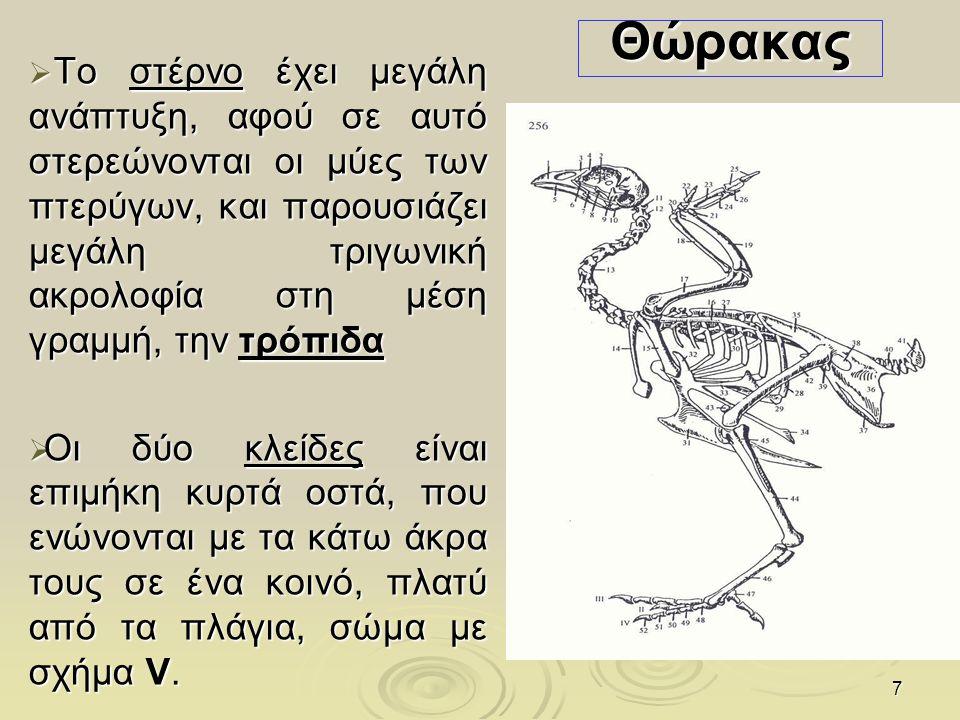 8 Οστά των πρόσθιων άκρων (πτέρυγες ) Οστά της ωμικής ζώνης  Η ωμοπλάτη είναι επίμηκες και πλατύ οστό, χωρίς ωμοπλατιαία άκανθα,  Το βραχιόνιο οστό έχει σχήμα S, το σώμα του είναι πλατύ από εμπρός προς τα πίσω, και παρουσιάζει τρήματα επικοινωνίας με τους αεροφόρους σάκους  Οστά του αντιβραχίου: Η κερκίδα, ενώνεται με την ωλένη  Η αναλογία μήκους κερκίδας και ωλένης είναι αντίστροφη από ότι στα περισσότερα θηλαστικά, ενώ η κερκίδα αντιστοιχεί στο ήμισυ του όγκου της ωλένης Οστά του καρπού Οστά του μετακαρπίου Είναι τρία Δάκτυλοι Είναι τρεις Δεξιά πτέρυγα ενήλικου πτηνού