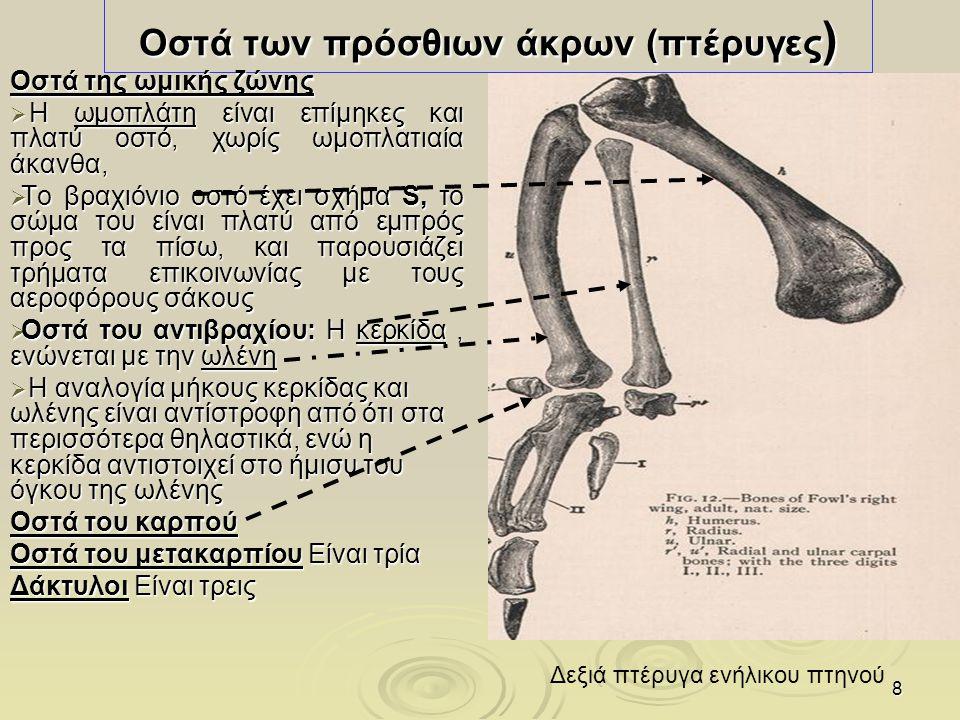 9 Οστά των οπισθίων άκρων (1) Οστά της πυελικής ζώνης  Τα δύο ανώνυμα οστά δεν παρουσιάζουν ηβοϊσχιακή σύμφυση αλλά ανοίγουν κοιλιακώς με αποτέλεσμα να υπάρχει στο κάτω μέρος της πυέλου ευρύ χάσμα  Ραχιαίως τα λαγόνια οστά συνοστεώνονται με τους τελευταίους θωρακικούς, τους οσφυϊκούς και τους ιερούς σπονδύλους Μηριαίο οστό  Είναι αεροφόρο, κυρτό προς τα πλάγια και εμπρός
