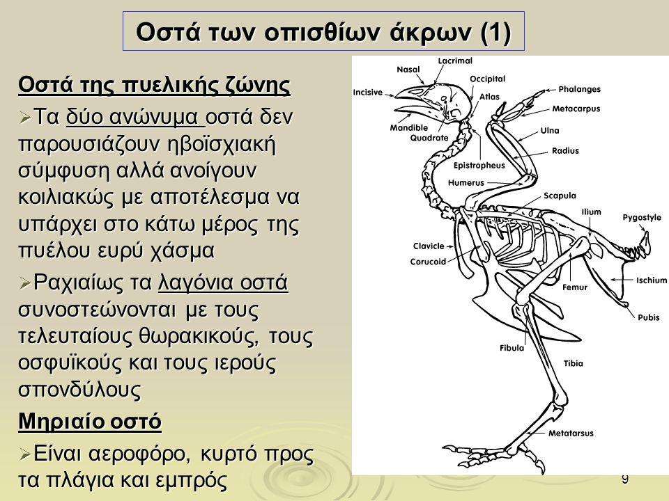 10 Οστά των οπισθίων άκρων (2) Οστά της κνήμης  Η κνήμη είναι αεροφόρο οστό, με ευρύ σχεδόν κυλινδρικό σώμα  Η περόνη είναι λεπτό βελονοειδές οστό Οστά του ταρσού :Ταρσός δεν υπάρχει  Δάκτυλοι  Υπάρχουν 4 δάκτυλοι.