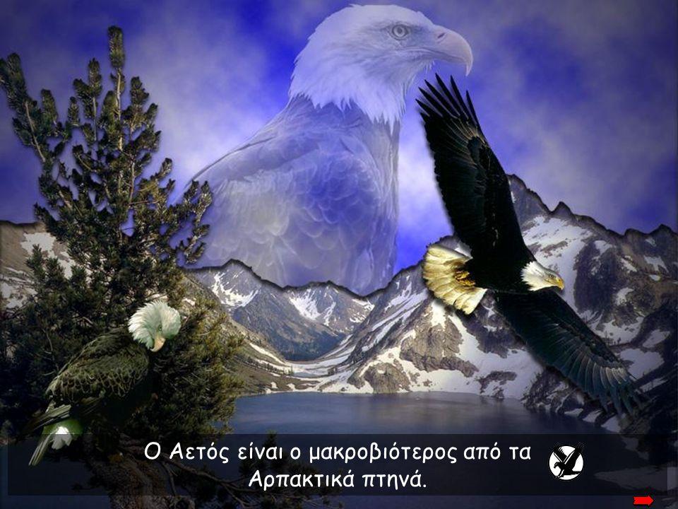Ο Αετός είναι ο μακροβιότερος από τα Αρπακτικά πτηνά.