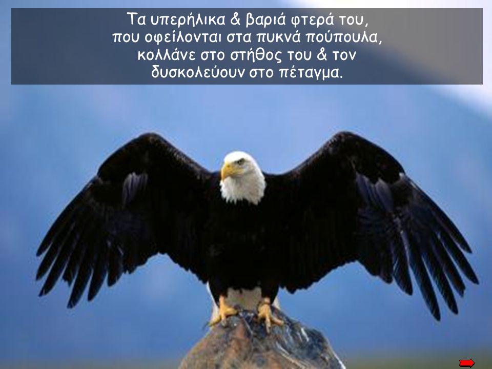 Τα υπερήλικα & βαριά φτερά του, που οφείλονται στα πυκνά πούπουλα, κολλάνε στο στήθος του & τον δυσκολεύουν στο πέταγμα.