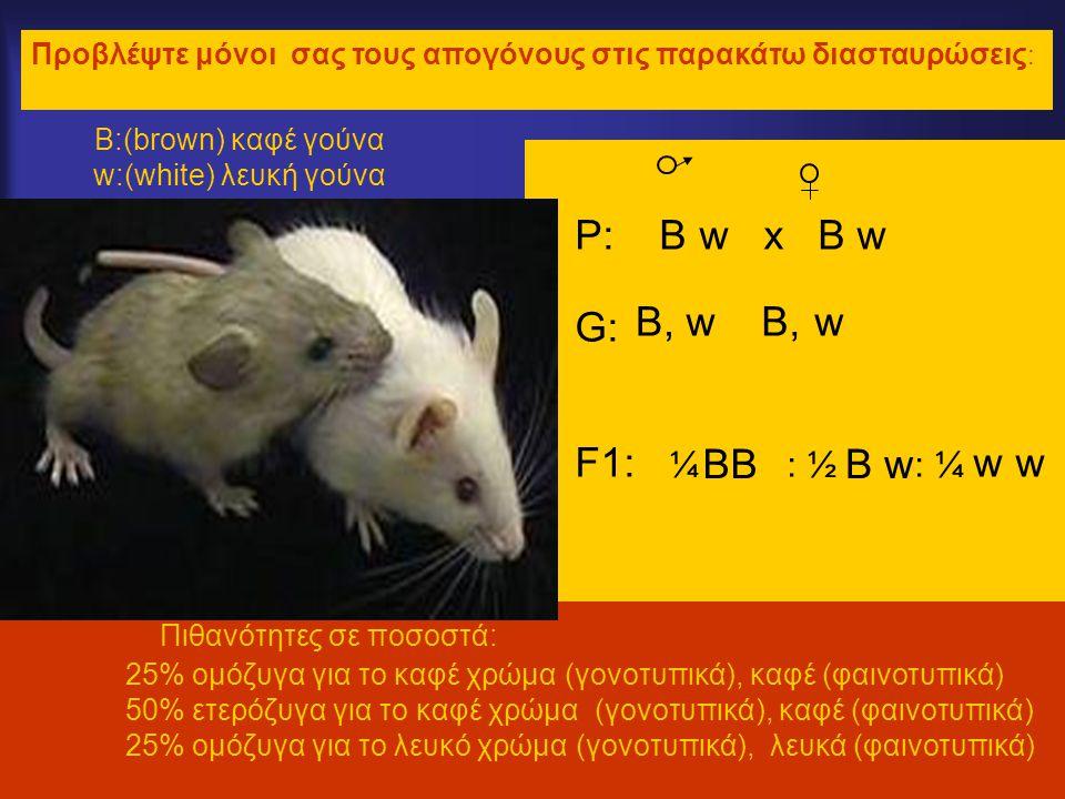 Β:(brown) καφέ γούνα w:(white) λευκή γούνα •P: B w x B w •G:•G: •F1: ¼ : ½ : ¼ w w Πιθανότητες σε ποσοστά: 25% ομόζυγα για το καφέ χρώμα (γονοτυπικά), καφέ (φαινοτυπικά) 50% ετερόζυγα για το καφέ χρώμα (γονοτυπικά), καφέ (φαινοτυπικά) 25% ομόζυγα για το λευκό χρώμα (γονοτυπικά), λευκά (φαινοτυπικά) Προβλέψτε μόνοι σας τους απογόνους στις παρακάτω διασταυρώσεις : B,wB,B, w BBB w