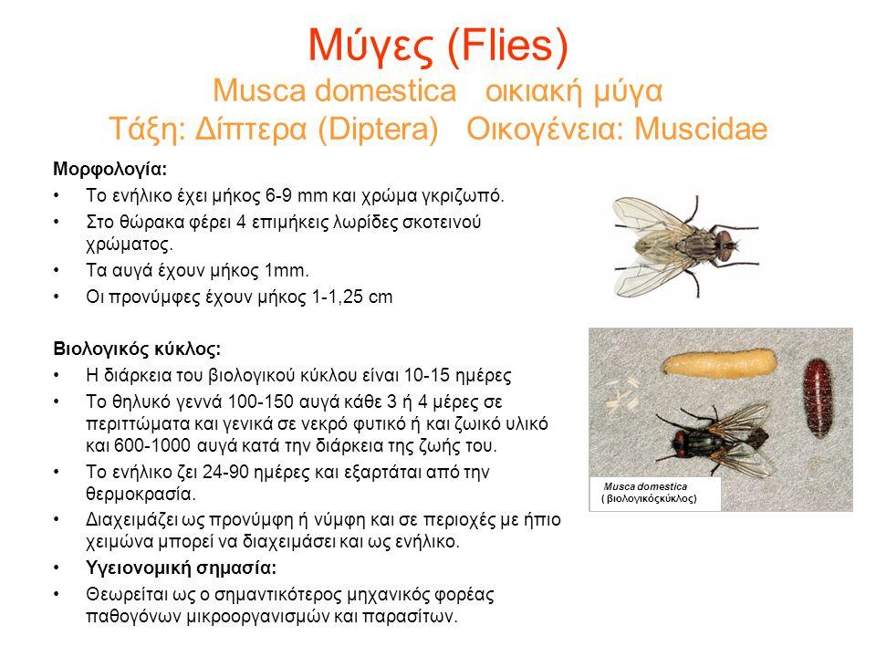 Μύγες (Flies) Musca domestica οικιακή μύγα Τάξη: Δίπτερα (Diptera) Οικογένεια: Muscidae Μορφολογία: •Το ενήλικο έχει μήκος 6-9 mm και χρώμα γκριζωπό.