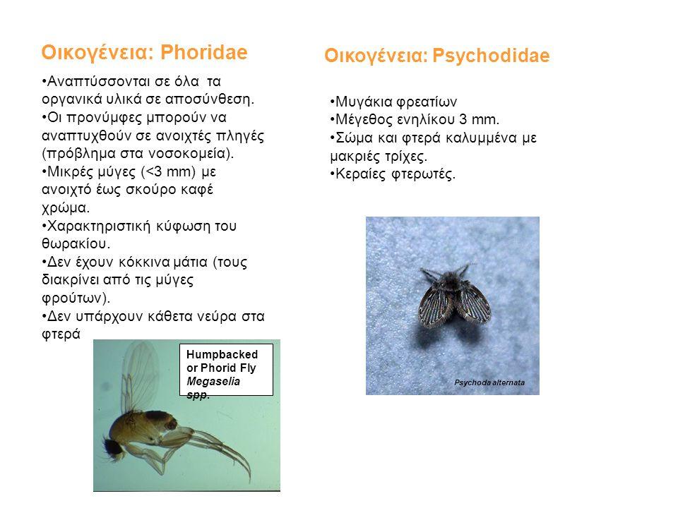 Οικογένεια: Phoridae •Αναπτύσσονται σε όλα τα οργανικά υλικά σε αποσύνθεση. •Οι προνύμφες μπορούν να αναπτυχθούν σε ανοιχτές πληγές (πρόβλημα στα νοσο