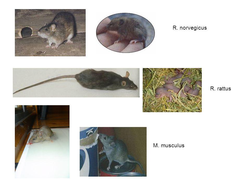 R. norvegicus R. rattus M. musculus
