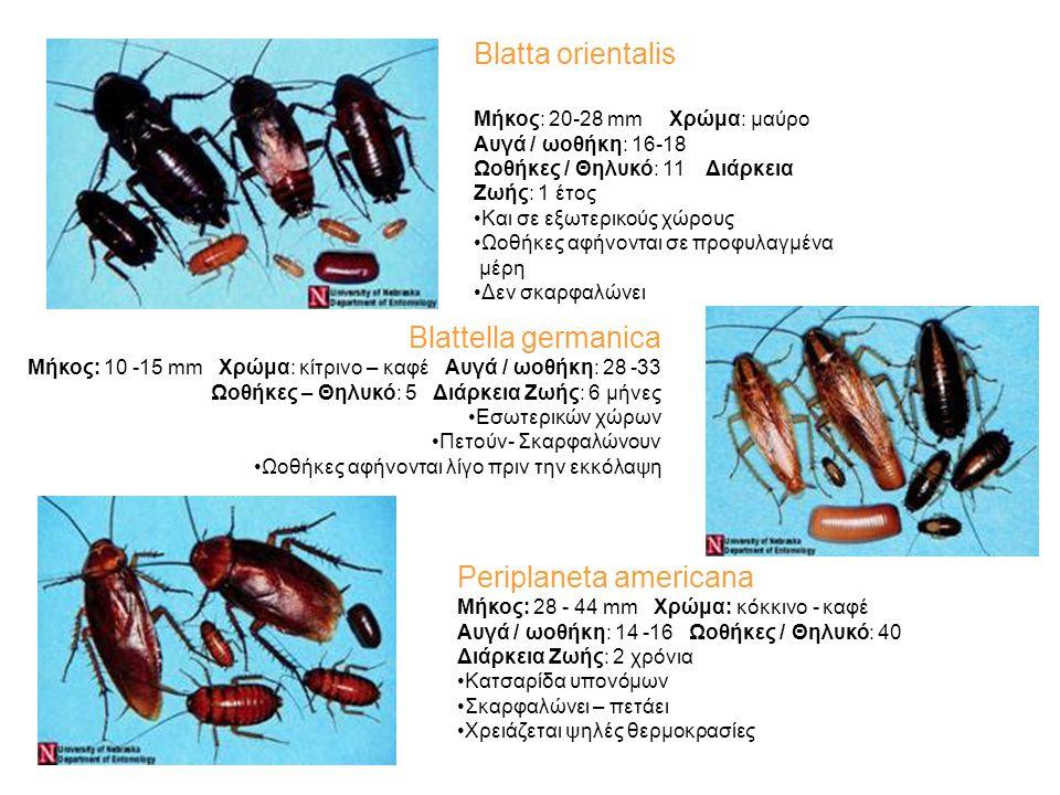 Blatta orientalis Periplaneta americana Blatta orientalis Μήκος: 20-28 mm Χρώμα: μαύρο Αυγά / ωοθήκη: 16-18 Ωοθήκες / Θηλυκό: 11 Διάρκεια Ζωής: 1 έτος