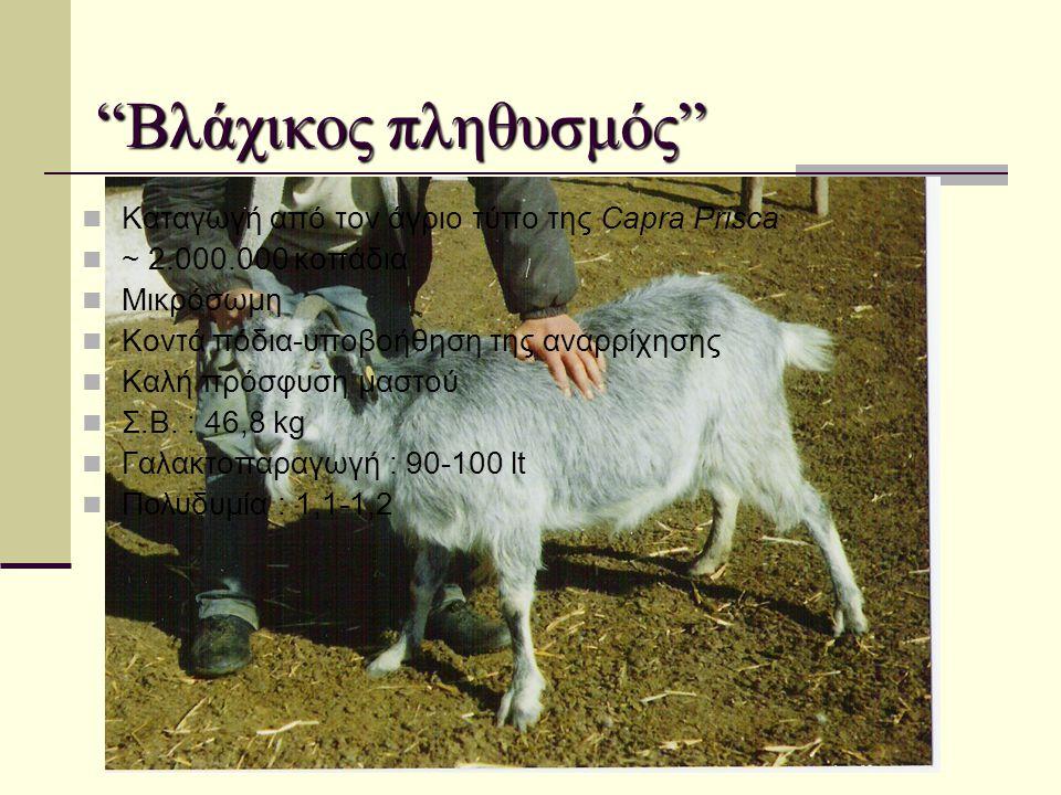 """""""Βλάχικος πληθυσμός""""  Καταγωγή από τον άγριο τύπο της Capra Prisca  ~ 2.000.000 κοπάδια  Μικρόσωμη  Κοντά πόδια-υποβοήθηση της αναρρίχησης  Καλή"""