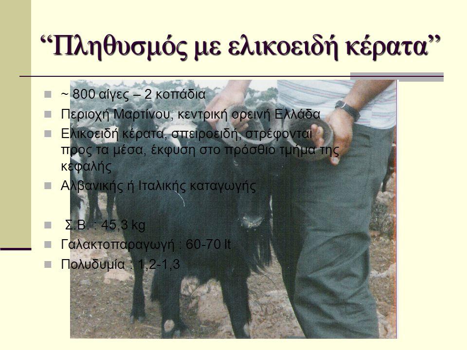 """""""Πληθυσμός με ελικοειδή κέρατα""""  ~ 800 αίγες – 2 κοπάδια  Περιοχή Μαρτίνου, κεντρική ορεινή Ελλάδα  Ελικοειδή κέρατα, σπειροειδή, στρέφονται προς τ"""