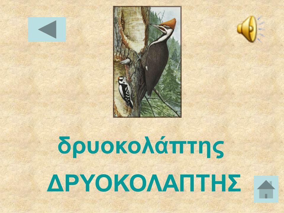 γαλοπούλα ΓΑΛΟΠΟΥΛΑ