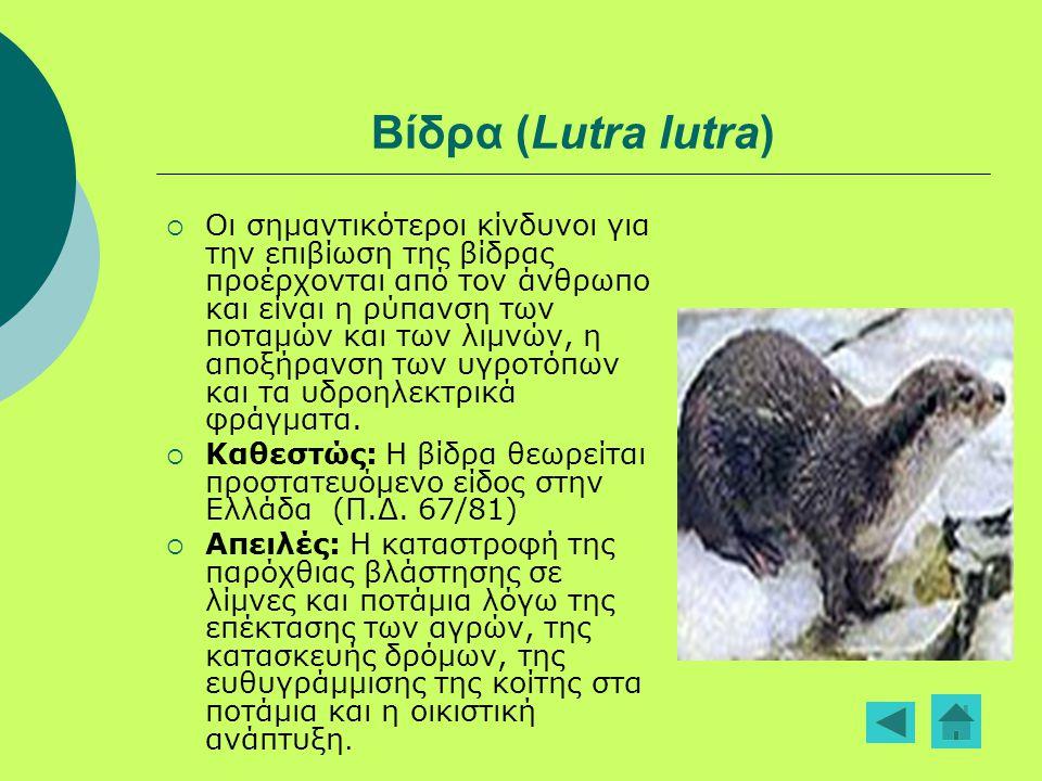 Βίδρα (Lutra lutra)  Οι σημαντικότεροι κίνδυνοι για την επιβίωση της βίδρας προέρχονται από τον άνθρωπο και είναι η ρύπανση των ποταμών και των λιμνώ