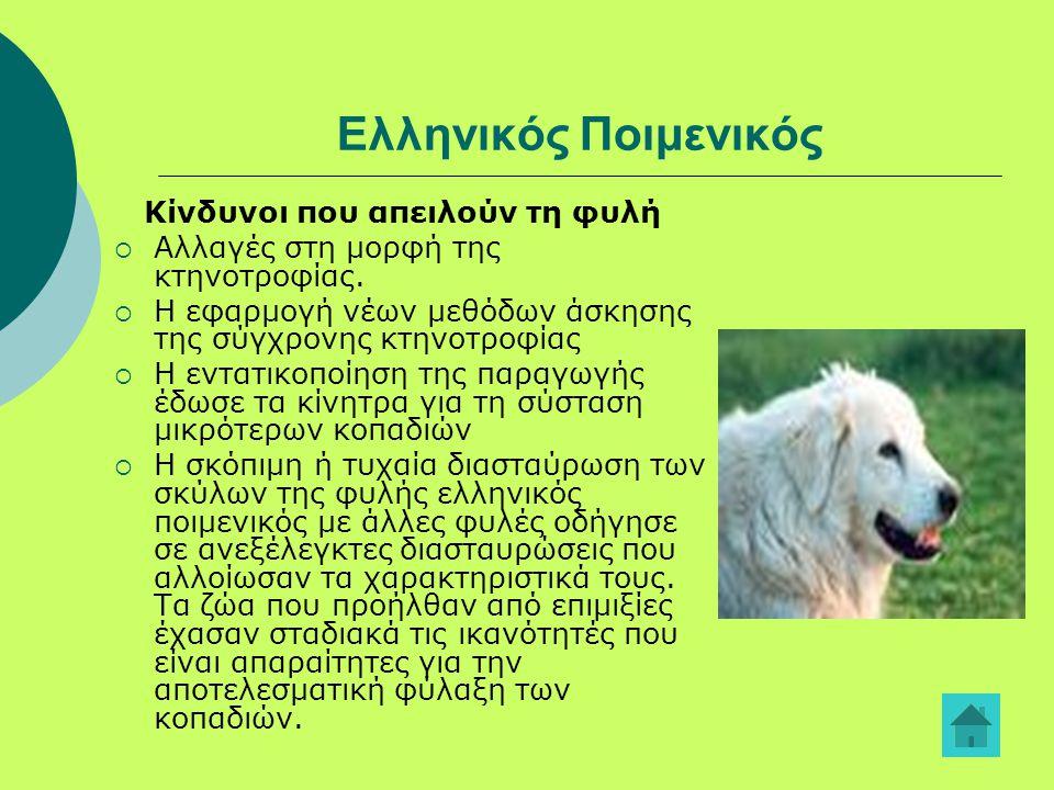 Ελληνικός Ποιμενικός Κίνδυνοι που απειλούν τη φυλή  Αλλαγές στη μορφή της κτηνοτροφίας.  Η εφαρμογή νέων μεθόδων άσκησης της σύγχρονης κτηνοτροφίας