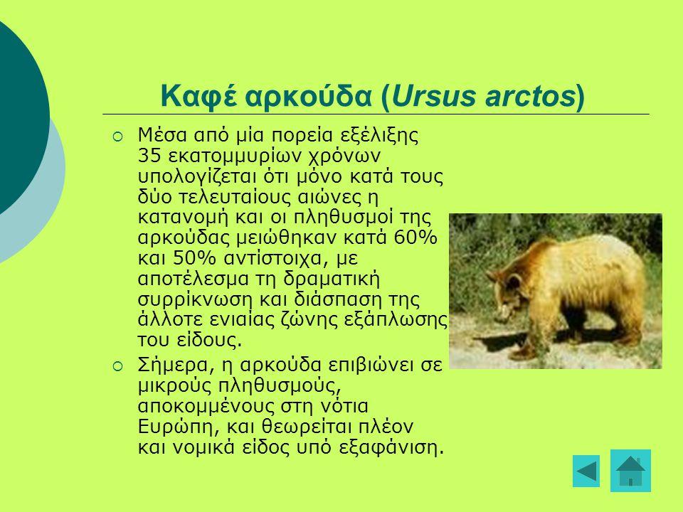 Καφέ αρκούδα (Ursus arctos)  Μέσα από μία πορεία εξέλιξης 35 εκατομμυρίων χρόνων υπολογίζεται ότι μόνο κατά τους δύο τελευταίους αιώνες η κατανομή κα