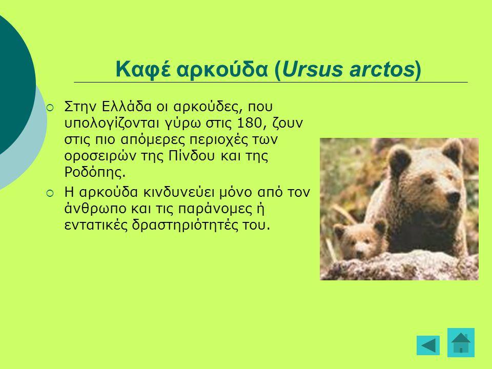 Καφέ αρκούδα (Ursus arctos)  Στην Ελλάδα οι αρκούδες, που υπολογίζονται γύρω στις 180, ζουν στις πιο απόμερες περιοχές των οροσειρών της Πίνδου και τ
