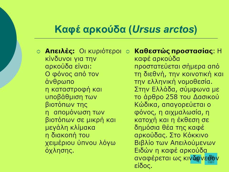 Καφέ αρκούδα (Ursus arctos)  Απειλές: Οι κυριότεροι κίνδυνοι για την αρκούδα είναι: Ο φόνος από τον άνθρωπο η καταστροφή και υποβάθμιση των βιοτόπων