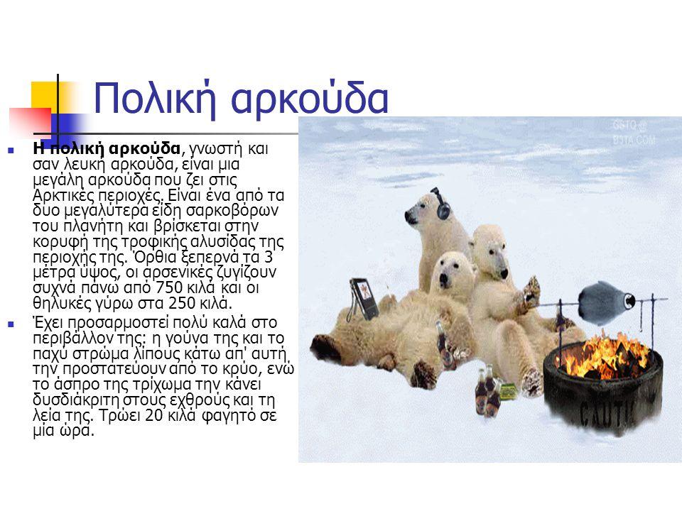 Πολική αρκούδα  Η πολική αρκούδα, γνωστή και σαν λευκή αρκούδα, είναι μια μεγάλη αρκούδα που ζει στις Αρκτικές περιοχές.