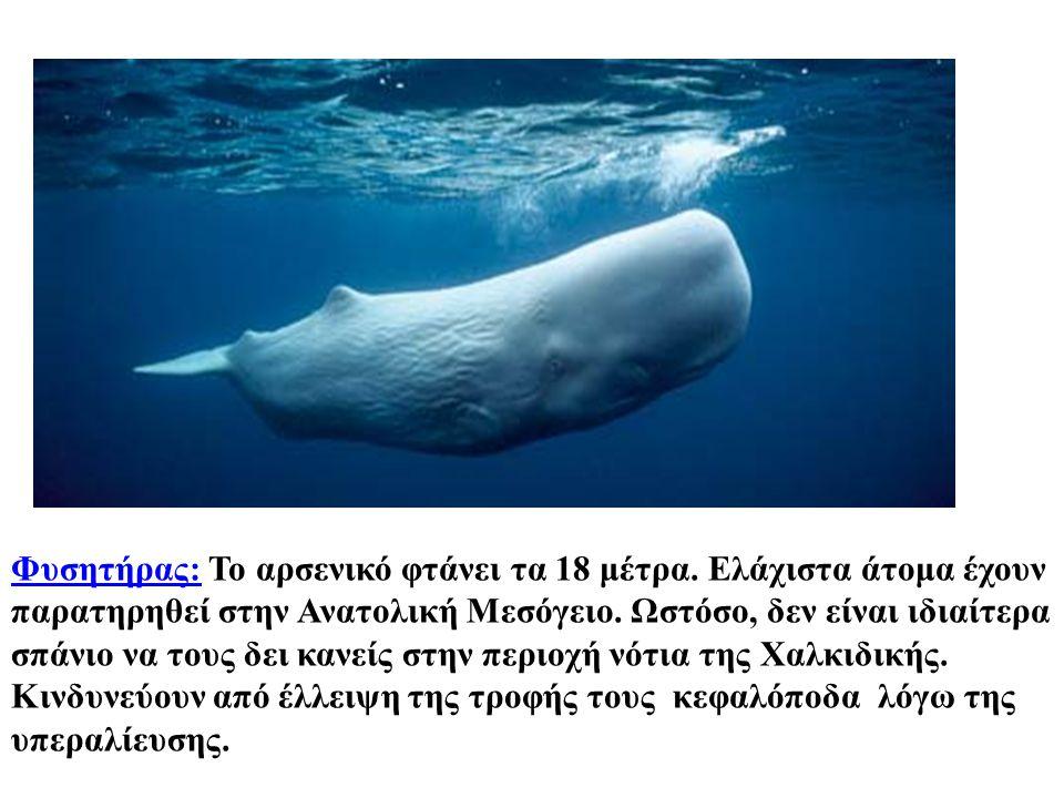 Φυσητήρας:Φυσητήρας: Το αρσενικό φτάνει τα 18 μέτρα. Ελάχιστα άτομα έχουν παρατηρηθεί στην Ανατολική Μεσόγειο. Ωστόσο, δεν είναι ιδιαίτερα σπάνιο να τ