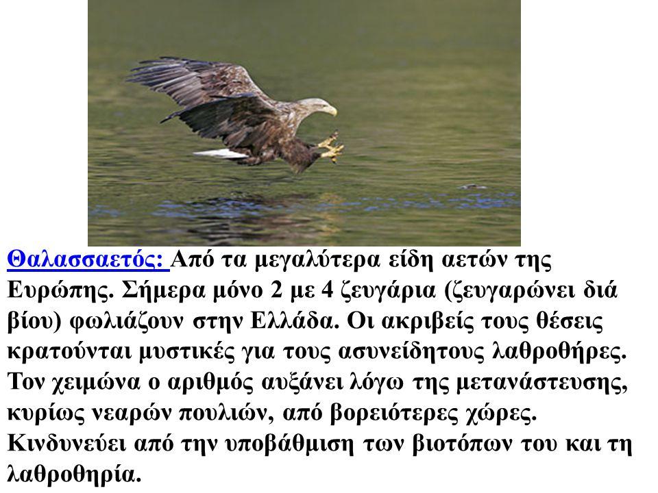 Θαλασσαετός: Θαλασσαετός: Από τα μεγαλύτερα είδη αετών της Ευρώπης. Σήμερα μόνο 2 με 4 ζευγάρια (ζευγαρώνει διά βίου) φωλιάζουν στην Ελλάδα. Οι ακριβε