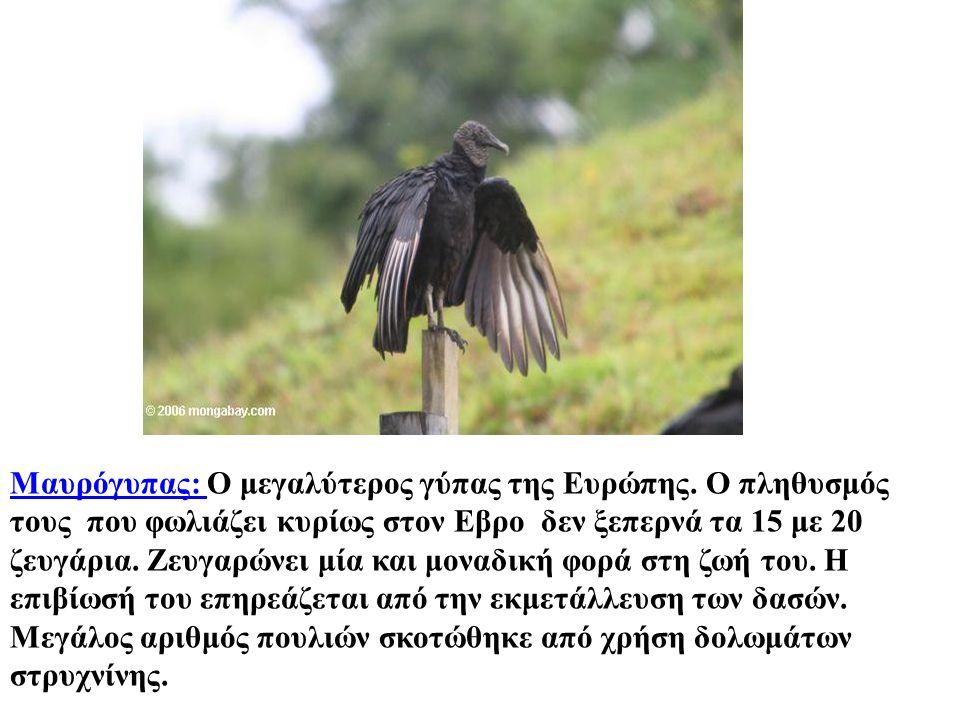 Μαυρόγυπας: Μαυρόγυπας: Ο μεγαλύτερος γύπας της Ευρώπης. Ο πληθυσμός τους  που φωλιάζει κυρίως στον Εβρο  δεν ξεπερνά τα 15 με 20 ζευγάρια. Ζευγαρών