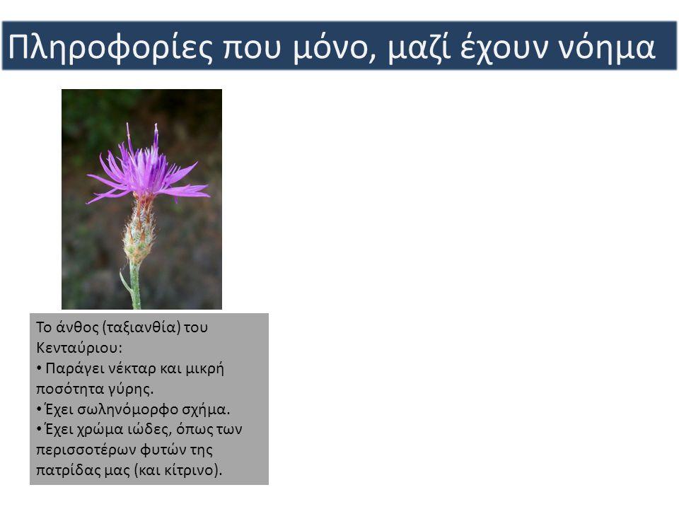 Το άνθος (ταξιανθία) του Κενταύριου: • Παράγει νέκταρ και μικρή ποσότητα γύρης. • Έχει σωληνόμορφο σχήμα. • Έχει χρώμα ιώδες, όπως των περισσοτέρων φυ