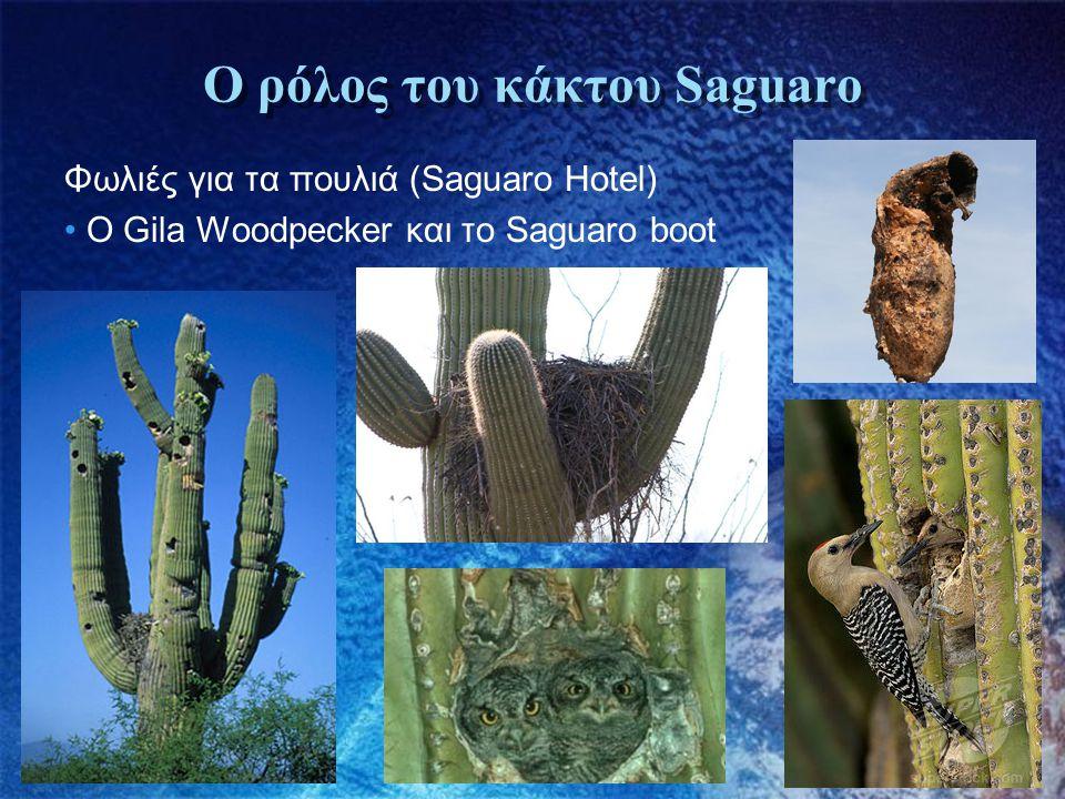 Ο ρόλος του κάκτου Saguaro Φωλιές για τα πουλιά (Saguaro Hotel) • Ο Gila Woodpecker και το Saguaro boot