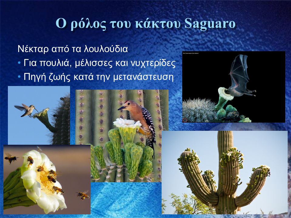 Ο ρόλος του κάκτου Saguaro Νέκταρ από τα λουλούδια • Για πουλιά, μέλισσες και νυχτερίδες • Πηγή ζωής κατά την μετανάστευση