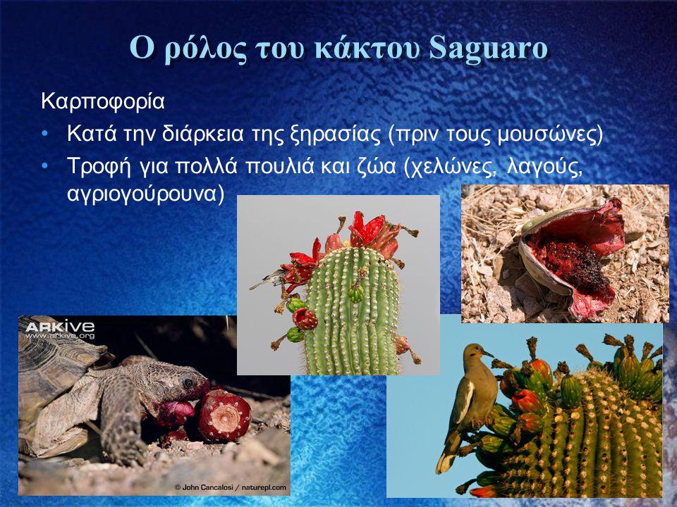 Ο ρόλος του κάκτου Saguaro Καρποφορία •Κατά την διάρκεια της ξηρασίας (πριν τους μουσώνες) •Τροφή για πολλά πουλιά και ζώα (χελώνες, λαγούς, αγριογούρ
