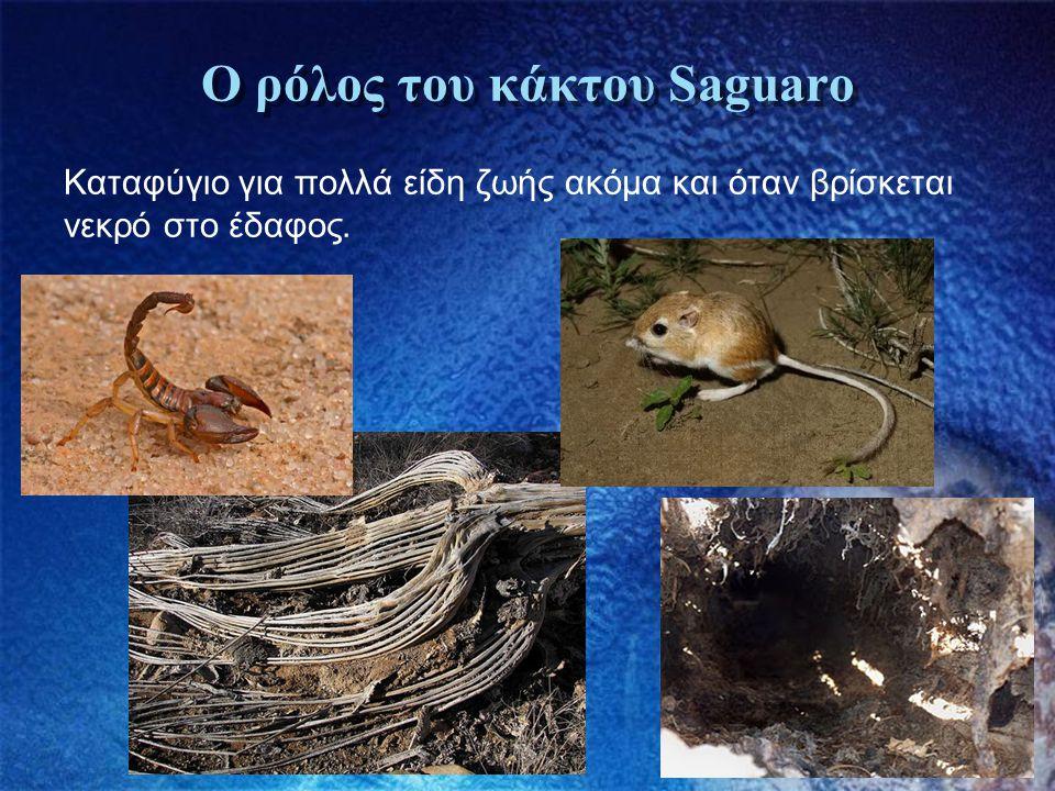 Ο ρόλος του κάκτου Saguaro Καταφύγιο για πολλά είδη ζωής ακόμα και όταν βρίσκεται νεκρό στο έδαφος.